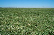 Second snow socks wheat crop