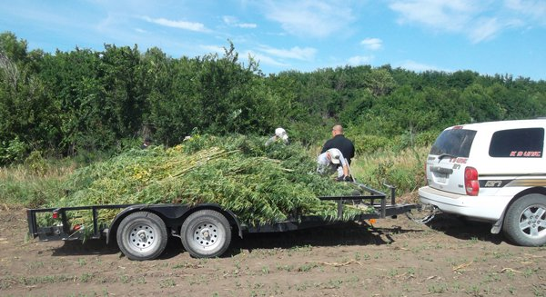 County officers destroy 2,429 plants of marijuana