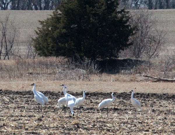 Nine whooping cranes were feeding on farm ground about a mile east of Aulne in Marion County in late March. Mark Miller of the Kansas Department of Wildlife and Parks estimates 250 cranes are migrating through Kansas this spring. Free Press file photo