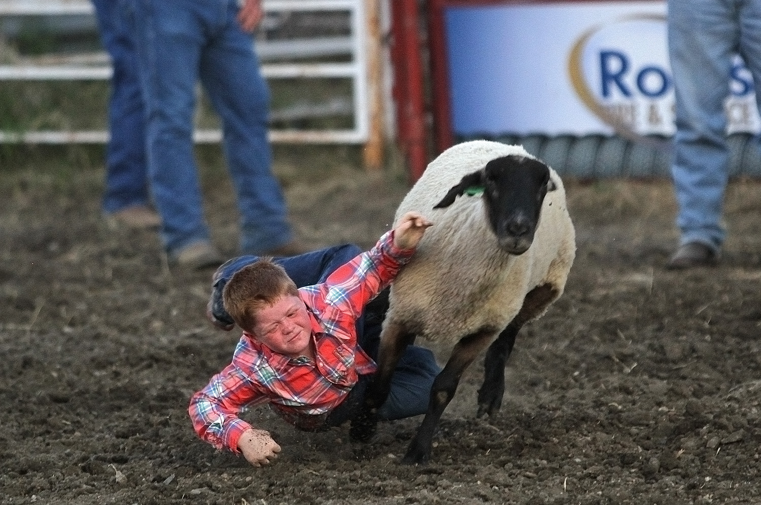 Evan Jones slides off the sheep in the mutton bustin? competition at the Kraft Rodeo during the Marion County Fair on Thursday night. Phyllis Richert