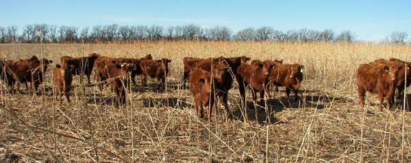 Glen's use of cattle to graze the cover crop allows him to see at least some economic returns directly from the cover while getting the residues knocked down and in contact with the soil, where they do the most good.