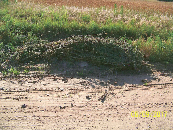 This pile of musk thistle was illegally dumped north of 240th by a railroad tressel near the county line. Bud Druse, noxious weed director, said it took more than two hours to remove the weeds.<p>
