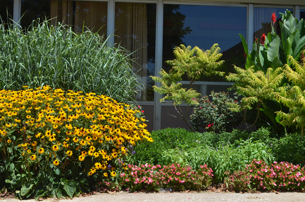 Visitors to Tabor's gymnasium and student center are greeted with a variety of plants. Yellow flowers, like the rudbeckias pictured, tend to be hardy and grow well in Kansas. The cooler blue colors are usually harder to grow, with the exception of indigo and sweet peas.<p>